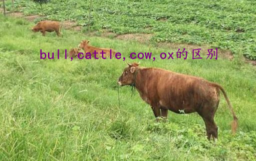 bull,cattle,cow,ox的区别